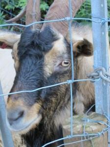 Wing's Wildlife Park, Gunns Plains, North West, Tasmania, goat