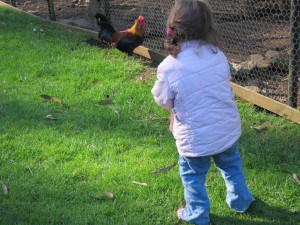 Wing's Wildlife Park, Gunns Plains, North West, Tasmania, rooster