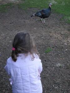 Wing's Wildlife Park, Gunns Plains, North West, Tasmania, turkey