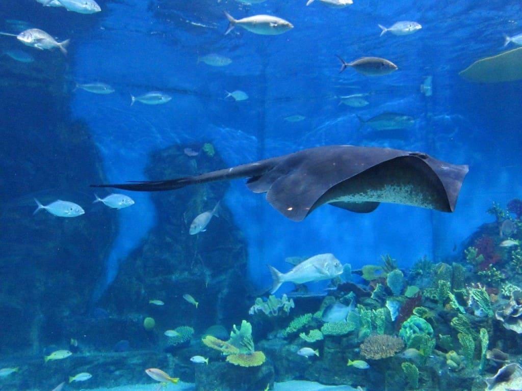 Melbourne Aquarium stingray