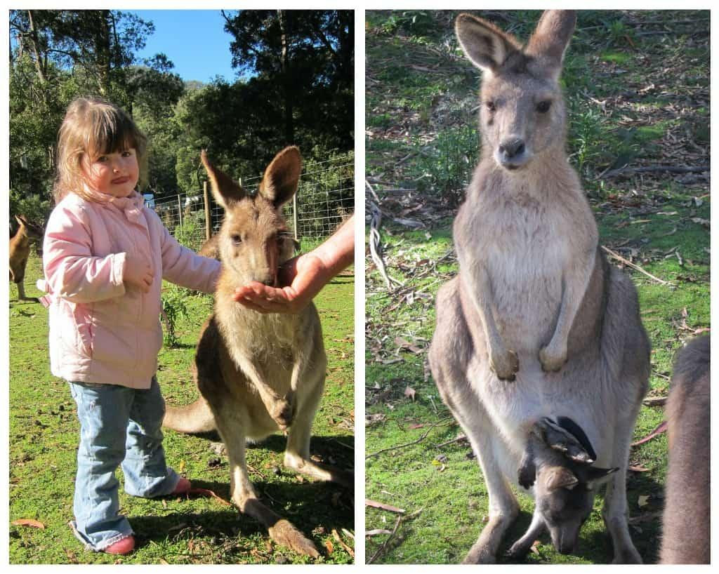 Wings Wildlife Park, Gunns Plains, North West, Tasmania, kangaroos