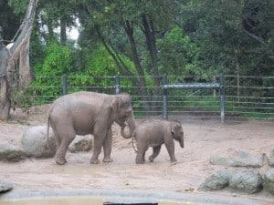 Melbourne Zoo baby elephant