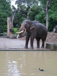 Melbourne Zoo elephant
